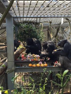 チンパンジーのお誕生日会