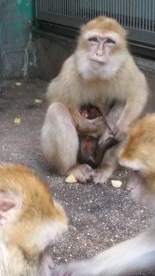 バーバリマカク赤ちゃんがお母さんに抱かれている