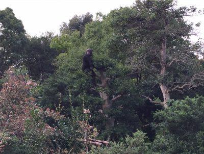 木に登るチンパンジーマリリン
