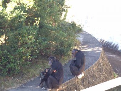 チンパンジーの外での同居マリリンとマルコ、マモル