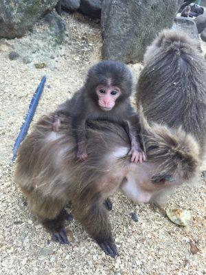 ヤクニホンザルの赤ん坊の写真
