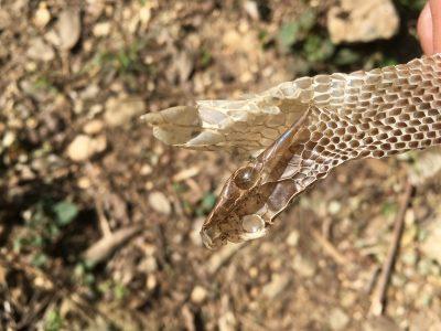 ヘビの脱皮2