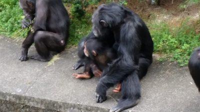 藤森さんを見るチンパンジー