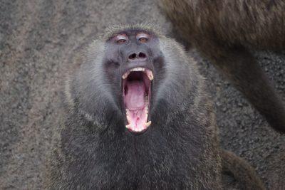ヒヒの犬歯!