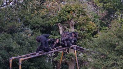 ウンテイの上のチンパンジー