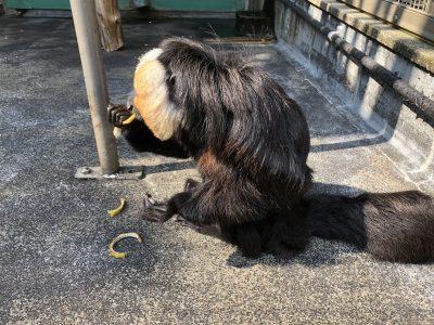 バナナの皮を食べるモップくん