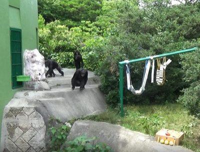 ケーキに近づくチンパンジーたち