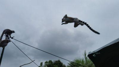 ワオキツネザルジャンプ