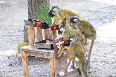 サルおせちを食べるリスザルたち